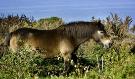 Trotting Wild Exmoor Pony. Exmoor Wild Pony Trotting. Bristol Channel in the background Royalty Free Stock Photography