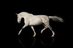 Trotto del cavallo bianco immagine stock