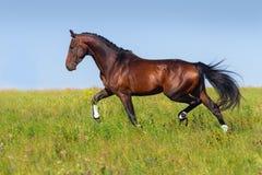 Trotto del cavallo di baia immagini stock libere da diritti