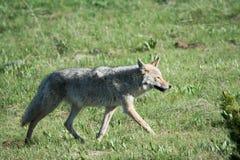 Trotto del coyote fotografia stock