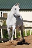 Trotto di esecuzioni dello zampone di Orlov del cavallo bianco Fotografia Stock