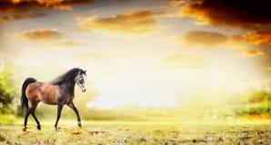 Trotto di funzionamento del cavallo dello stallone sopra il fondo della natura di autunno Immagine Stock
