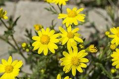 Trottoarer dekorativa blommor, naturliga kulöra blommor, dekorativa blommor för stad, blommor mellan stenar, Royaltyfria Bilder