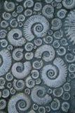 Trottoir décoré des ammonites fossiles en pierre Photographie stock