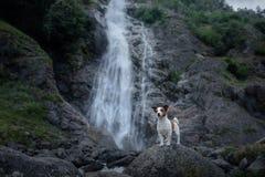 Trotzen Sie Jack Russell-Terrierstellung auf einem Stein am Wasserfall Wenig Hund nahe dem Wasser in der Natur lizenzfreie stockfotografie