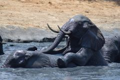 Trou d'eau de bousculade d'éléphant Images stock
