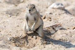 Trou de creusement d'écureuil moulu Photographie stock libre de droits