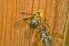 Trou de creusement femelle d'emboîtement d'abeille de charpentier Photo libre de droits