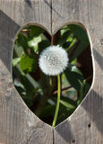 Trou en forme de coeur dans la barrière avec la tête de pissenlit Image stock