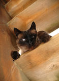 Trouble. A Siamese cat peers mischeviously from his perch on a wooden porch step Stock Images