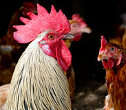 Trouble in the henhouse - cocky cockerel and brown Royalty Free Stock Photo