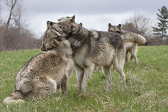 Trouble in the Wolf Pack. Battle for dominance in a wolf pack royalty free stock photos