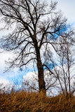 Troubled bare tree. Bare tree in winter with tall grass and a cloudy sky Royalty Free Stock Image