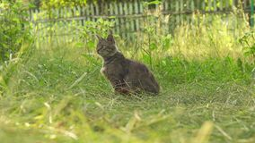 Troubled grey cat looking around and walk. Ing stock footage