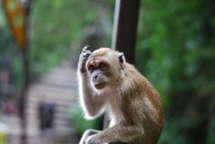 Troubled Monkey. Take at Batu Cave, a famous place in Kuala royalty free stock photos