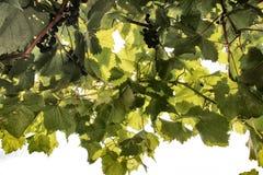 Trought de druiven Stock Afbeeldingen
