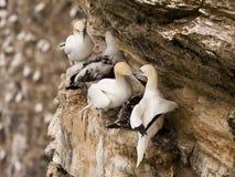troup gannet головное стоковое фото