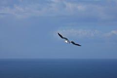 troup gannet головное Стоковая Фотография RF