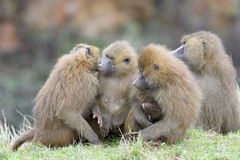 Troup of Guinea baboon Stock Photo