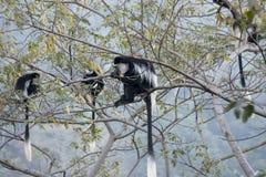 Troupe de alimentation de singe de colobus noir et blanc Image libre de droits