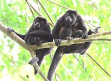 Troupe de singe d'hurleur dans l'arbre avec le bébé, corcovad0, Costa Rica Images libres de droits