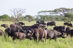 Troupeau africain de Buffalo dans le cratère de Ngorongoro, Tanzanie Photographie stock libre de droits