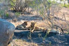 Troupeau africain de lion se reposant après consommation de leur mise à mort photographie stock