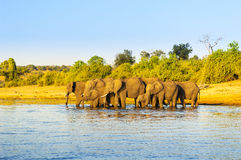 Troupeau Afrique d'éléphant images libres de droits