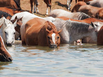 Troupeau Arabe potable dans le lac. Images stock