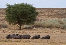 Troupeau bleu de Wildebeest dans le désert de Kalahari Image stock