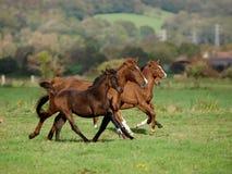 Troupeau courant de cheval Images libres de droits