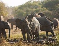Troupeau d'éléphant à Bath de boue image stock