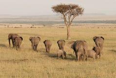 Troupeau d'éléphant à Mara, Kenya Image libre de droits