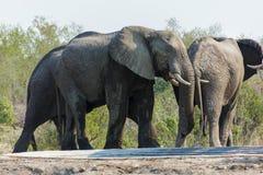 Troupeau d'éléphant à un abreuvoir dans le parc photo libre de droits