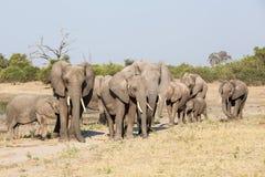 Troupeau d'éléphant Photo stock