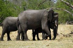Troupeau d'éléphant africain Photographie stock