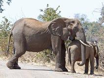 Troupeau d'éléphant africain Photos libres de droits