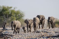 Troupeau d'éléphant africain avec le veau, nationalpark d'etosha, Namibie Photographie stock libre de droits