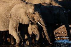 Troupeau d'éléphant africain avec le veau sur le point d'eau, nationalpark d'etosha, Namibie Images stock