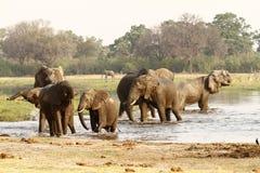 Troupeau d'éléphant africain buvant dans l'Okovango Images libres de droits