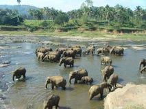 Troupeau d'éléphant asiatique à l'abreuvoir Photographie stock libre de droits