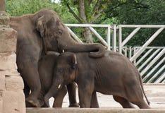 Troupeau d'éléphant asiatique - maximus d'Elephas Photographie stock