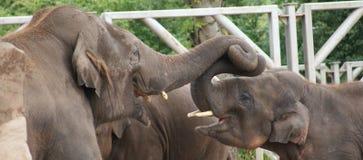 Troupeau d'éléphant asiatique - maximus d'Elephas Images stock