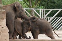 Troupeau d'éléphant asiatique - maximus d'Elephas Photographie stock libre de droits