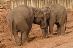 Troupeau d'éléphant asiatique - maximus d'Elephas Photos stock