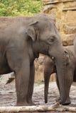 Troupeau d'éléphant asiatique - maximus d'Elephas Image libre de droits