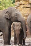 Troupeau d'éléphant asiatique - maximus d'Elephas Images libres de droits