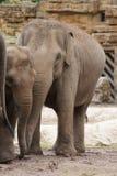 Troupeau d'éléphant asiatique - maximus d'Elephas Photo libre de droits