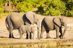 Troupeau d'éléphant au bord de rivières image stock