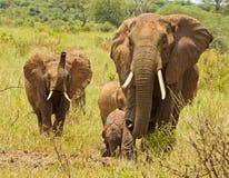 Troupeau d'éléphant avec le juvénile de son de la trompette Image stock